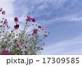 晴天の日の花びらが綺麗なコスモス 17309585