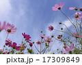 晴天の日の花びらが綺麗なコスモス 17309849