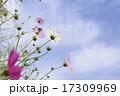 晴天の日の花びらが綺麗なコスモス 17309969