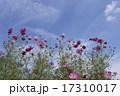 晴天の日の花びらが綺麗なコスモス 17310017