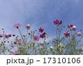 晴天の日の花びらが綺麗なコスモス 17310106