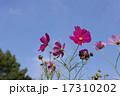 晴天の日の花びらが綺麗なコスモス 17310202
