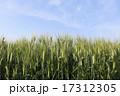 晴天の日の空に青々とそそり立つ麦の穂 17312305