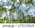 青空と白樺林 17313810