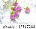切り花 センニチコウ 17317288
