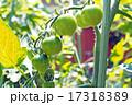 家庭菜園のミニトマト 17318389