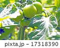 家庭菜園のミニトマト 17318390