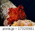 ウミシダ、赤黄 17320981