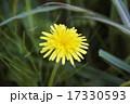 セイヨウタンポポ(西洋蒲公英/キク科) 17330593