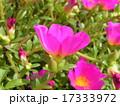 この桃色い花はスベリヒユとも言うポーチュラカ 17333972