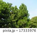 昭和の森の大きな木ダイオウマツ 17333976
