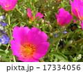 この桃色い花はスベリヒユとも言うポーチュラカ 17334056