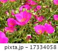 この桃色い花はスベリヒユとも言うポーチュラカ 17334058