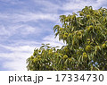栗の木 17334730