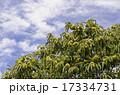 栗の木 17334731
