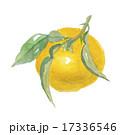 ゆず 柚子 水彩画のイラスト 17336546