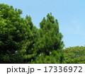 昭和の森の大きな木ダイオウマツ 17336972