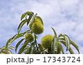 栗の木 17343724