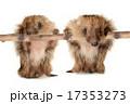 げっ歯類 ネズミ目 齧歯目の写真 17353273