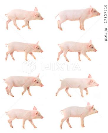pigの写真素材 [17357516] - PIXTA