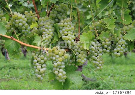 ワイン用ブドウ ソーヴィニヨン・ブラン 17367894