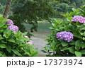 紫陽花 17373974