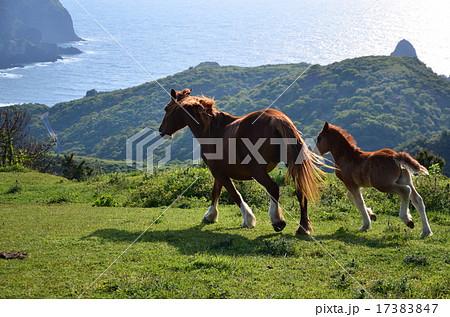 隠岐の島 野生馬 17383847