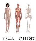 人体標本 筋肉 骨格 リアル3DCGイラスト素材 17386953