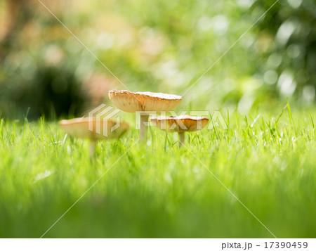 芝生 に 生える キノコ