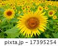 ひまわり ひまわり畑 花の写真 17395254
