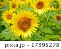 ひまわり 花 ハチの写真 17395278