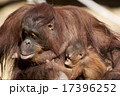オランウータンの母子 17396252