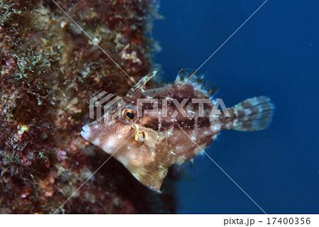 ハギの仲間、幼魚 17400356