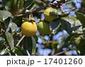 未熟 柿 実の写真 17401260
