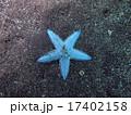 移動するモミジガイ 17402158