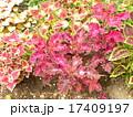 鮮やかな彩の観葉植物コリウス 17409197