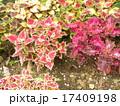 鮮やかな彩の観葉植物コリウス 17409198
