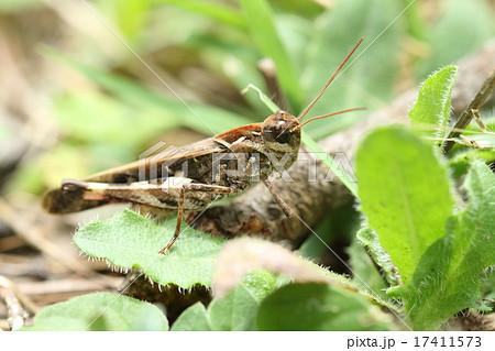 生き物 昆虫 クルマバッタモドキ、個人の感想ですが子供が捕まえてくる『トノサマバッタ』は大概これです 17411573