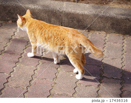 茶トラ猫の後ろ姿 17436316