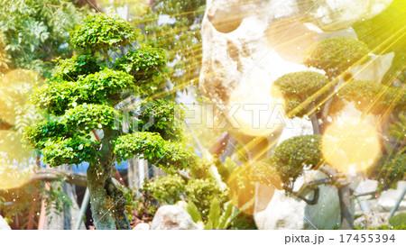 bonsai tree in garden and sunrays 17455394