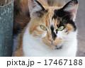 三毛猫 17467188