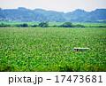 はがきサイズ蓮の群生地01桃源郷・伊豆沼 17473681