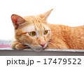 Thai Cat laying on roof portrait. 17479522