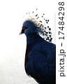オウギバト 冠羽 カンムリバトの写真 17484298