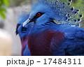オウギバト カンムリバト 鳥の写真 17484311