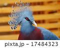 オウギバト 冠羽 カンムリバトの写真 17484323