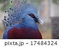 オウギバト 冠羽 カンムリバトの写真 17484324