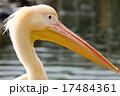 モモイロペリカン ペリカン 鳥類の写真 17484361