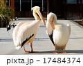 モモイロペリカン ペリカン 鳥類の写真 17484374