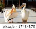 モモイロペリカン ペリカン 鳥類の写真 17484375